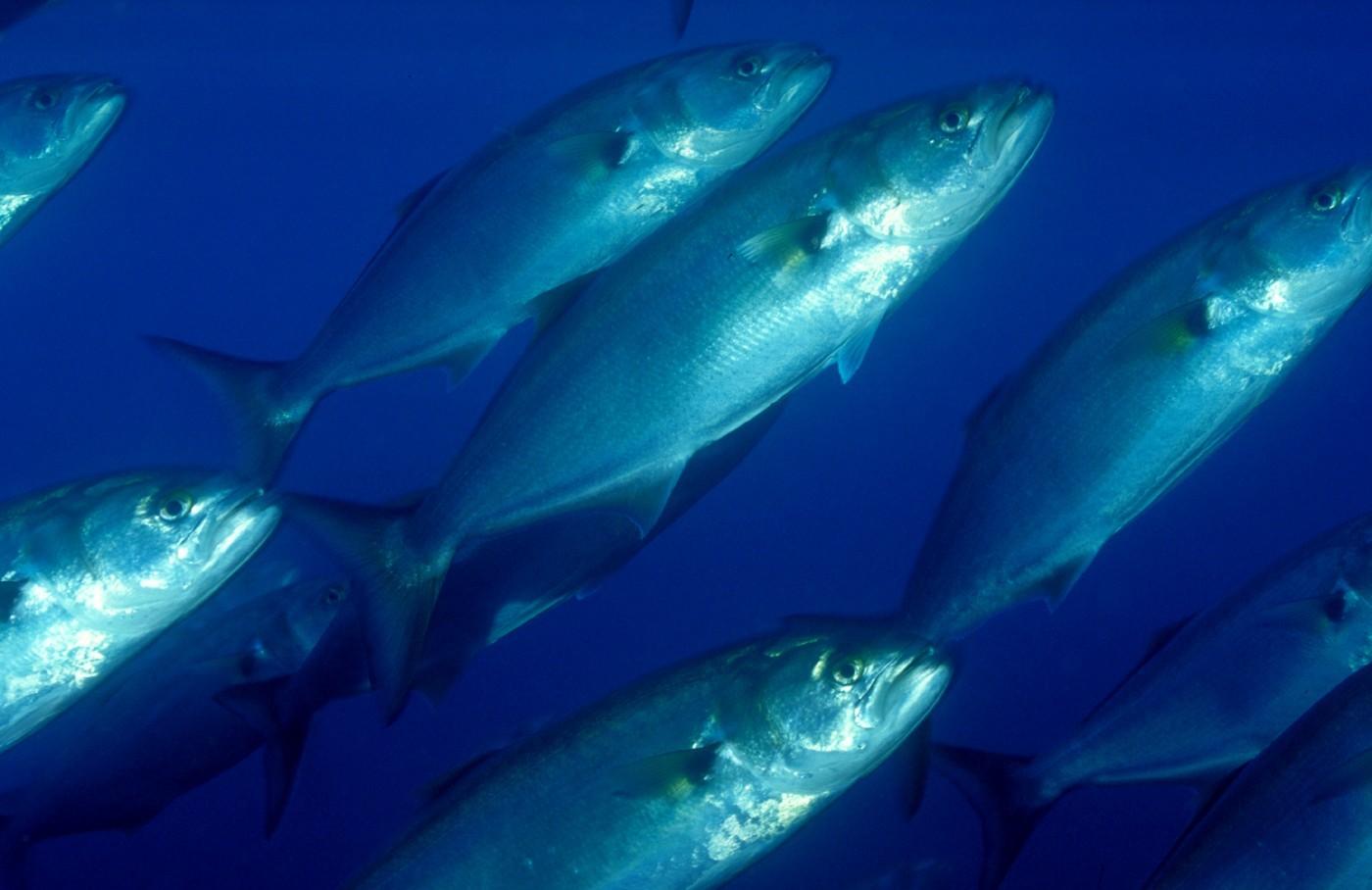 óleo de peixe, benefícios além da medicina